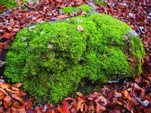 akmuo, samanos, bemoost, žalias, užaugo, žinoma, miškas, miško paklotė, Rokas, Cratoneuron filicinas, paprastojo stiprus nervų samanos, Laubmoos, amblystegiaceae, stiprus nervų samanos, vulgarus stiprus nervų samanos, labai varginantis samanos svyravimas, palustriella commutata, Cratoneuron commutatum