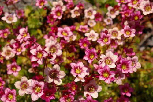 akmens lova,sodas,gamta,augalas,akmens patalynės augalas,geliu lova,lova,filigranas,flora,gėlės,gėlių kilimas,Uždaryti,pavasaris,rožinis,fonas,spalvinga,žydėti,spalva,grožis,gražus,romantiškas,apdaila,atvirukas,fono paveikslėlis