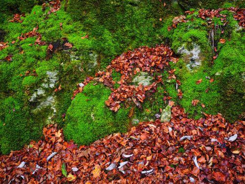 akmenys, lapai, ruduo, samanos, akmuo, bemoost, žalias, užaugo, žinoma, miškas, miško paklotė, Rokas, Cratoneuron filicinas, paprastojo stiprus nervų samanos, Laubmoos, amblystegiaceae, stiprus nervų samanos, vulgarus stiprus nervų samanos, labai varginantis samanos svyravimas, palustriella commutata, Cratoneuron commutatum