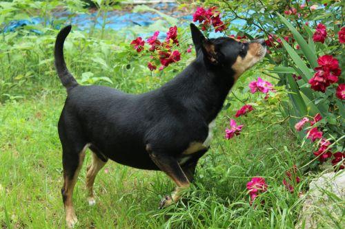 šuo, mutt, sumaišykite & nbsp, veislę, svaras, rottweiler, anglų & nbsp, piemuo, Mančesteris & nbsp, terjeras, australian & nbsp, kelpie, kelpie, piemenys, šunys, naminis gyvūnėlis, namų ūkis, galinis kiemas, rožės, kvapas, sustoti & nbsp, kvapas & nbsp, rožės, kvapas & nbsp, rožės, sustoti ir kvapas