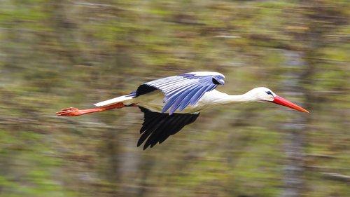gandras, skraidantis, Rattle gandras, gamtos apsaugos, paukštis, Gyvūnijos pasaulyje, plunksna, Bill, pobūdį, balta gandras, raudona snapas, ilgas snapas, sparnas