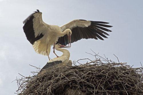 gandrai, migruojantys paukščiai, Bulgarija, baba marta, migracija, oranžinis snapas, poros pora, paukštis, gyvūnas, snapas, oranžinė, sparnas, pora, plunksnos, lizdas, Balkanai, Europa, lizdą, be honoraro mokesčio