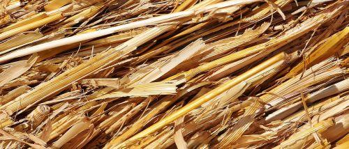 šiaudai,derlius,Žemdirbystė,laukas,kiškis,grūdai,derlius,vasara,derliaus metas,sausas,auksinis,gamta,šiaudų derlius,galvijų pašarai,kukurūzų laukas