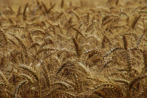šiaudai, derlius, gamta, auksas, metodas, sėkla, sausas, miežiai, grūdai, Žemdirbystė, kukurūzai, kvieciai, javai, ruda, spalva, žemės ūkio, be honoraro mokesčio