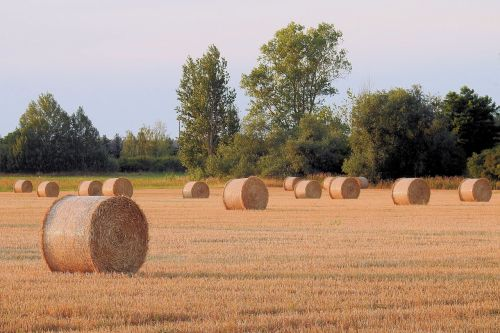 šiaudai,rutuliai,kiškis,derlius,Žemdirbystė,šiaudai,vasara,auksinis,dusk