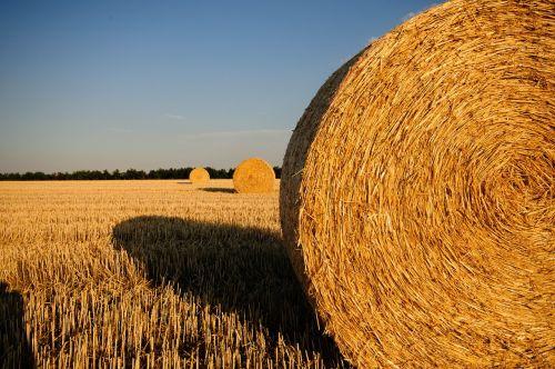 šiaudai, kiškis, vasara, šiaudai, laukas, derlius, šiaudų nuoma, ritinys