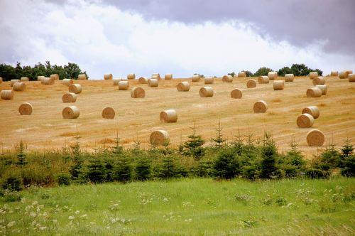 šiaudai,derlius,Žemdirbystė,šiaudai,grūdai,rutuliai,kiškis,derliaus metas,derlius,šiaudų derlius,presuoti ritiniai