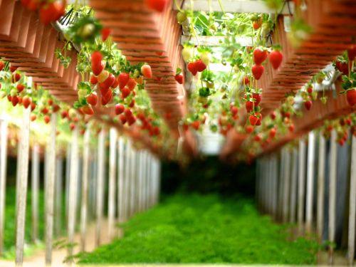 braškės,ūkiai,sodai,sodininkystė,braškės,vaisiai,šviežias,ūkininkavimas,augalai,vaisių,auginimas,žaluma,vynuogynai,alpinistams,alpinizmas,valgomieji,maisto produktai,saldus,rūgštus,raudona,rožinis,spalvinga,šviesus,Žemdirbystė,augimas,auga,derlius,natūralus,augmenijos,plantacijos,sveikas,skanus,maistingas