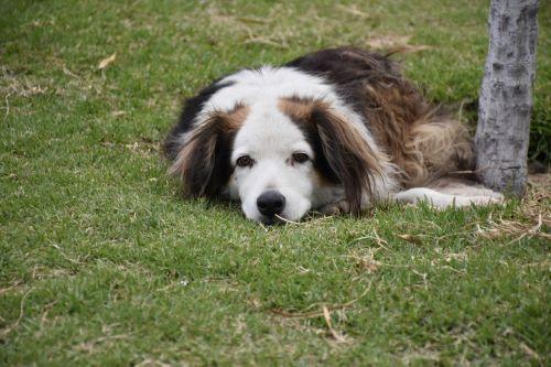 bjaurus šuo,ruda su balta,labai senas,parkas