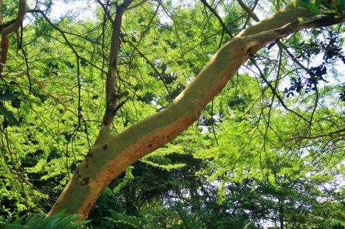 medis, filialas, lapija, žalias, vasara, stiprus filialas