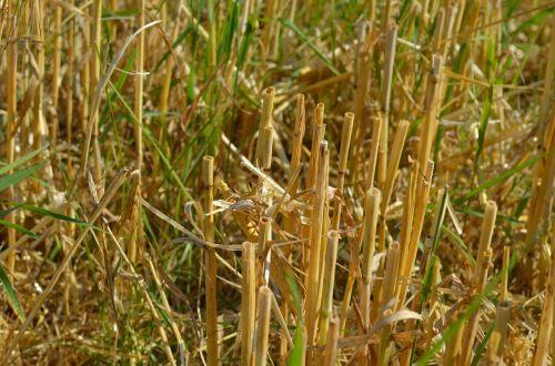 kiškis,kukurūzų laukas,derlius,derlius,šiaudai,kukurūzų stiebai,pjauti,grūdų derlius,Žemdirbystė