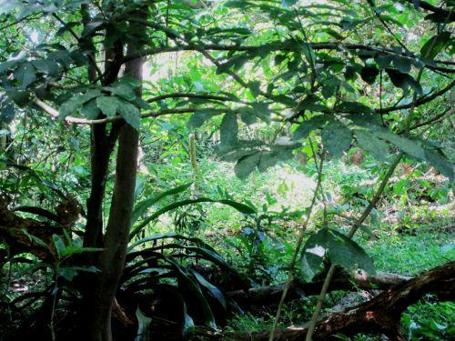 medžiai, vynuogynai, alpinistams, lapija, žalias, storas, tankus, vaisingas & nbsp, augimas, subtropinis augimas