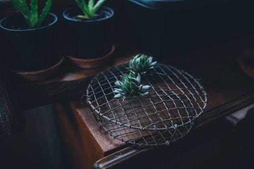 sultingas,augalas,botanikos,kaktusai,sodininkystė,sodininkystė,puodą