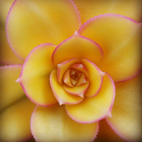 sultingas,flora,geltona