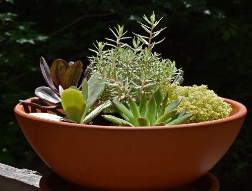 sultingas sodas,sultingas,augalas,gamta,konteineris,terakota,spalvinga