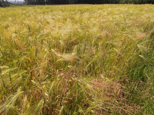 vasara,laukas,miežiai,žieminiai miežiai,pieva,kukurūzai,saulėtas,augti,subrendęs,gėlės