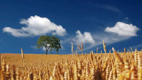vasara,saulė,saulės šviesa,grūdai,kukurūzų laukas,prinokę,subrendęs,spiglys,Halme,laukas,rugių laukas,auksas,auksinis,dangus,debesys,mėlynas,kraštovaizdis,gamta,medis,a,atskirai,Žemdirbystė,awns,maistas,derlius,pasirengusi nuimti