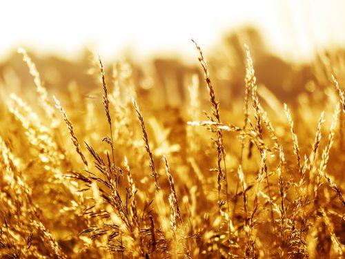vasara,žolė,žolės,gamta,laukas,augalas,žole pieva,oranžinė,raudona,saulėlydis,aukšta žolė,pieva,ruduo,mielas,saulėtas,laukai,afterglow,vakaro saulė,žolės žolės,derlius,romantiškas,romantika,harmonija,atsipalaidavimas,vaikščioti,elbe pieva,vasaros sezonas,šiltas,šiluma,idilija,šalies idilija,kaimas,abendstimmung,nuotaika,saulė,atgal šviesa,saulės šviesa