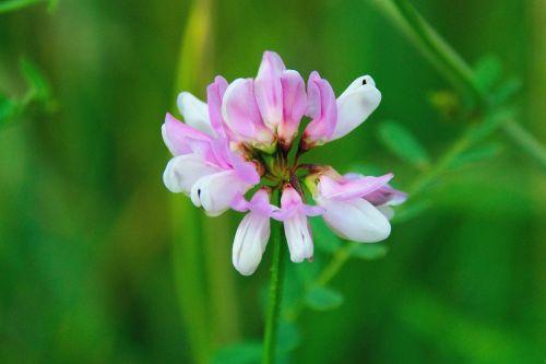 vasara,gėlė,gamta,gėlių vasara,vasaros augalai,augalai,makro,žalias,flora,delikatesas,laukas,vienas,žiogas,dobilas,kaimas