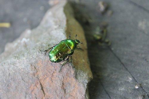 vasara, vabzdžiai, vabaliukas, žalias, pobūdį, makro, Iš arti, Padangos krašto sluoksnis, makro fotografija, makro nuotrauka, šviesus