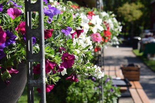 vasara, gėlės, vasaros gėlės, Švedija, žydėjimo, švedų vasarą, Sodas, spalva, mėlynos gėlės, turgus, spalvos, lapų, dangaus mėlynumo, augalai, Mėlyna gėlė, žalias