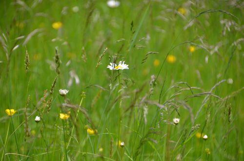 vasaros pieva,pieva,gamta,Daisy,kalnų pieva,gėlės,pavasaris,žalias,ganykla,gėlių pieva