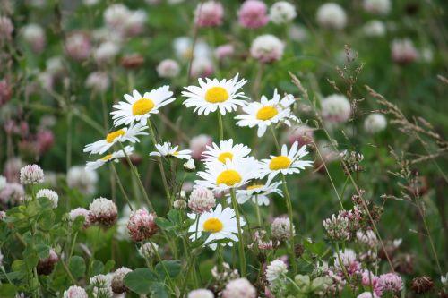 vasaros pieva,geliu lova,gėlės,vasara,Švedijos vasara,hage,lova