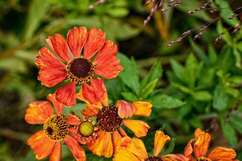 Saulės aliejus,helenium,kompozitai,gėlių sodas,žiedas,žydėti,oranžinė,geltona,flora,gėlė,dekoratyvinis augalas