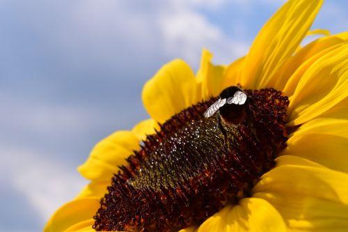 saulės gėlė,Hummel,žiedas,žydėti,vasara,geltona,helianthus,vabzdys,gamta,apdulkinimas,Uždaryti,žiedadulkės,makro,saulėtas