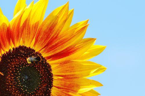 saulės gėlė,Hummel,vasara,sodas,žiedas,žydėti,geltona,vabzdys,helianthus,gamta,apdulkinimas,Uždaryti,žiedadulkės,makro,saulėtas,saulė,augalas,helianthus annuus,gėlė,išgalvotas,sėklos