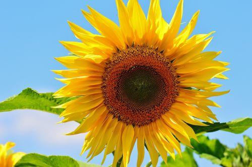 saulės gėlė,vasara,sodas,žiedas,žydėti,geltona,helianthus,gamta,apdulkinimas,Uždaryti,žiedadulkės,makro,saulėtas,saulė,augalas,helianthus annuus,gėlė,sėklos