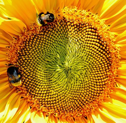 saulės gėlė,kamanėlės,vasara,sodas,žiedas,žydėti,geltona,vabzdys,helianthus,gamta,apdulkinimas,Uždaryti,žiedadulkės,makro,saulėtas,saulė,augalas,helianthus annuus,gėlė,išgalvotas,sėklos