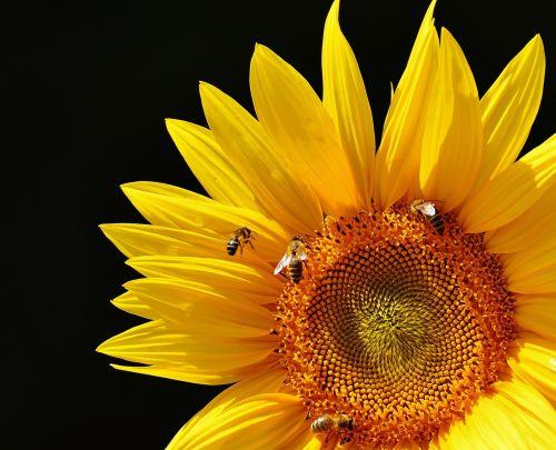 saulės gėlė,bitės,vasara,sodas,žiedas,žydėti,geltona,vabzdys,helianthus,gamta,apdulkinimas,Uždaryti,žiedadulkės,makro,saulėtas,saulė,augalas,helianthus annuus,gėlė,sėklos