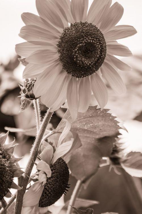 saulės gėlė,helianthus annuus,žiedas,žydėti,Uždaryti,makro,sepija