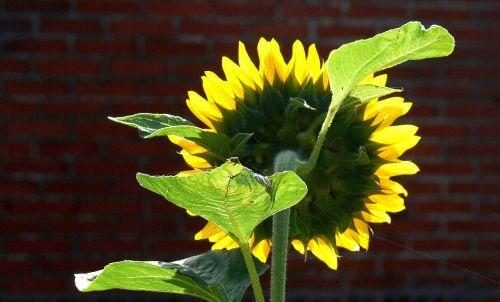 saulės gėlė,korona,atgal šviesa,žiedlapiai,lapija,permatomas,atgal,tournesolis