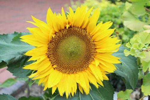 saulės gėlė,augalas,vasara,geltona,gamta,žiedas,žydėti,sodas,gėlė