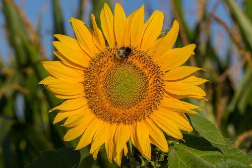 saulės gėlė,žiedas,žydėti,vasara,geltona,gamta,žiedadulkės,pabarstyti,nektaras,kompozitai,vabzdys,apdulkinimas,lauko kraštas,Hummel