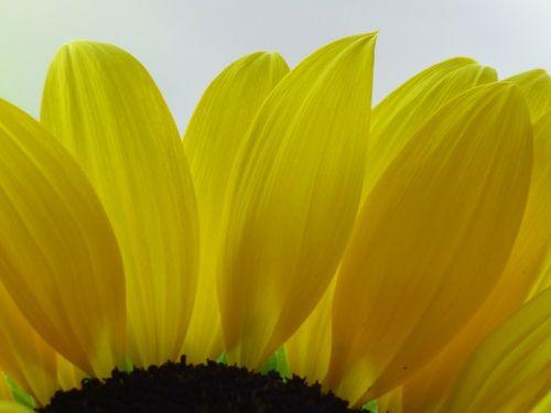 saulės gėlė,gėlė,geltona,žiedas,žydėti,žiedlapiai,sepals,augalas,flora
