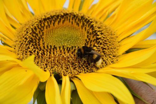saulės gėlė,žiedas,žydėti,g,geltona,gėlė,vasara,Hummel,bičių žiedadulkės,vaisiai