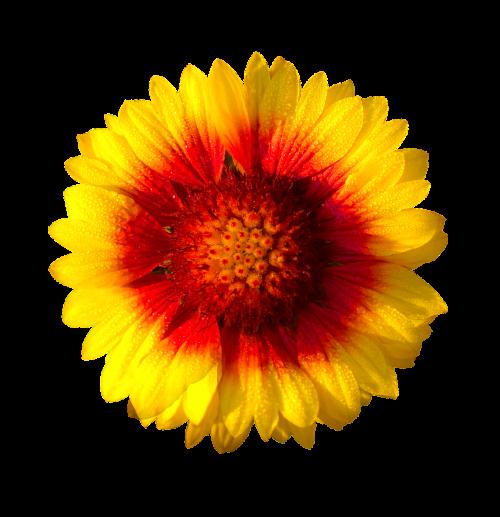 saulės gėlė,izoliuota gėlė,saulė,gėlė,šviežias,geltona,saulėgrąžos,gamta,skaidrus,natūralus,skaidrus fonas,skaidrūs vaizdai,nukirpimo kelias,apkarpymo kelio vaizdai,fono pašalinimas
