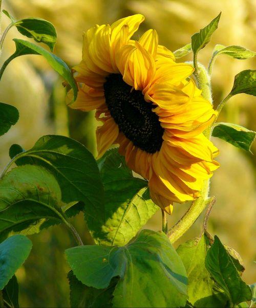 saulės gėlė,žiedas,žydėti,augalas,saulėgrąžos,Uždaryti,vasara,gėlė,geltona,žydėti,gėlės,flora,saulėgrąžų sėklos,žiedlapiai,vasaros gėlė,draugiškas,saulės šviesa,oranžinė