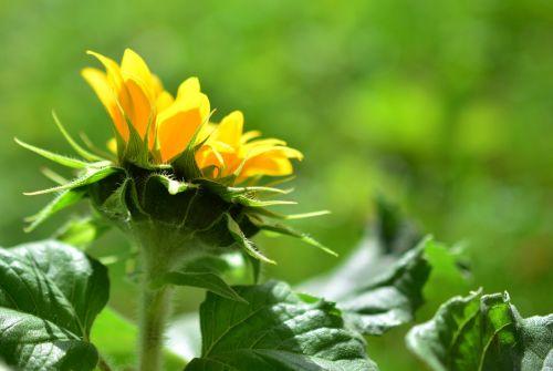saulės gėlė,gėlė,vasaros gėlė,žiedas,žydėti,geltona gėlė,spalvinga,augalas,žydėti,sodas,saulės šviesa,apšvietimas,žalias