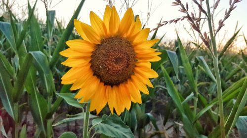 saulės gėlė,gamta,gėlė