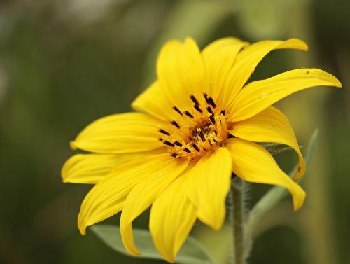 saulės gėlė,helianthus,maža saulės gėlė,gėlė,žiedas,žydėti,geltona,geltona gėlė,vasara,rudens gėlė,mažas gėlių pasveikinimas,atvirukas,mažas,Ačiū,žemėlapis,gėlės,vienas žydi,ačiū kortelė,atvirukas