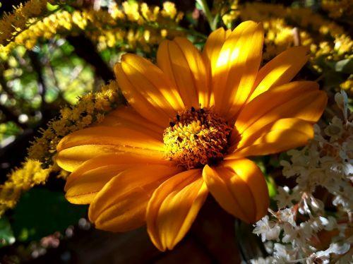 saulės gėlė,aukso lazdele,rudens saulė,daugiamečiai saulėgrąžai,saulės akis,heliopsis helianthoides,saulės šviesa,gėlė,geltona,rudens gėlė