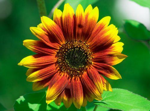 saulės gėlė,vasara,geltona,augalas,gamta,žiedas,žydėti,gėlė,sodas,žydėti,Uždaryti,vasaros pabaigoje,saulėgrąžos,gražios spalvos,flora,tamsi saulės gėlė,spalva