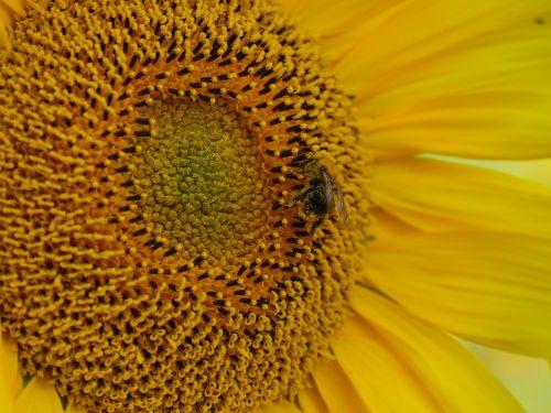 saulės gėlė,bičių,apdulkinimas,žiedadulkės,bičių žiedadulkės,žiedas,žydėti,laukas,vasara,vienas,centras,geltona,gėlė,augalas,gamta,sodas,pieva,žydėti,pragaras,draugiškas,žinoma,kaimas,Žemdirbystė,nemokamai,auga,žiedlapiai,žydėjimo laikas,šviesus,šviesa,spinduliai