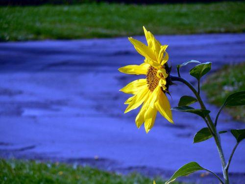 saulės gėlė,žiedas,žydėti,geltona,gėlė,žiedlapiai,augalas