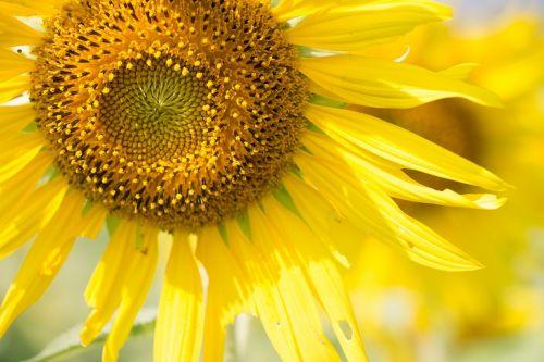 saulės gėlė,saulėtas,saulė,gėlė,saulės šviesa,vasara,spalva,šiltas,natūralus,šviesus,šviesa,geltona,lauke,saulės šviesa,gamta