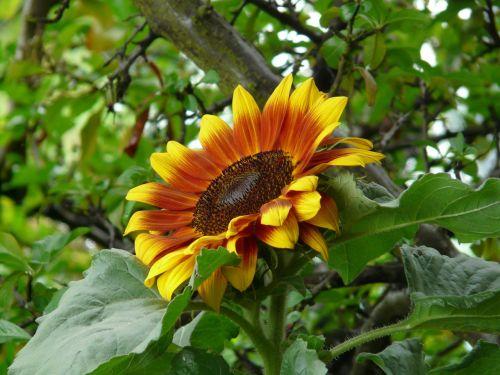 saulės gėlė,gėlė,žiedas,žydėti,geltona,helianthus annuus,helianthus,kompozitai,asteraceae,draugiškas,spalvinga,linksmas
